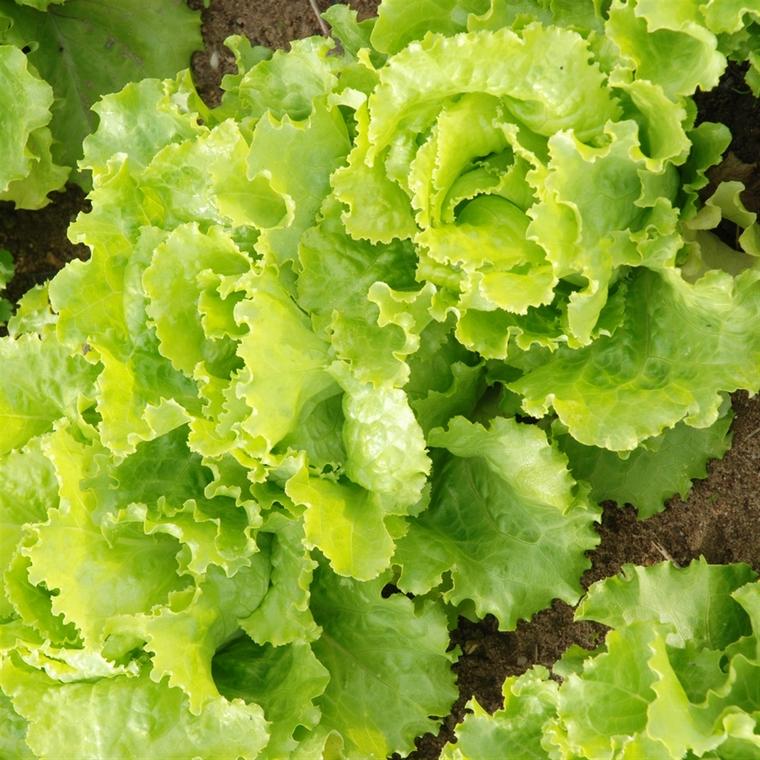 benefits green salad lettuce batavia