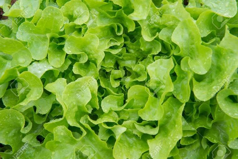 benefits green salad lettuce leaf oak