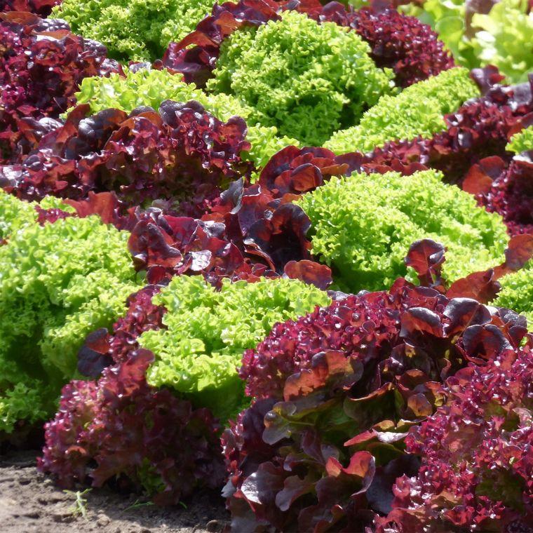 benefits green salad lollipop lettuce