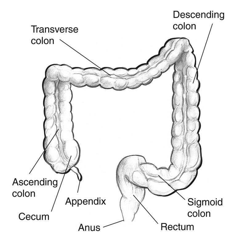 transverse colon any digestive system