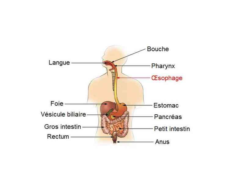 esophagus shcema digestive system