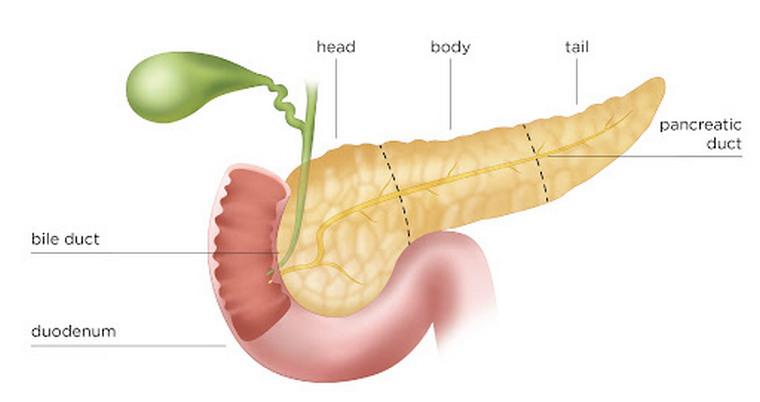 pancreas up close