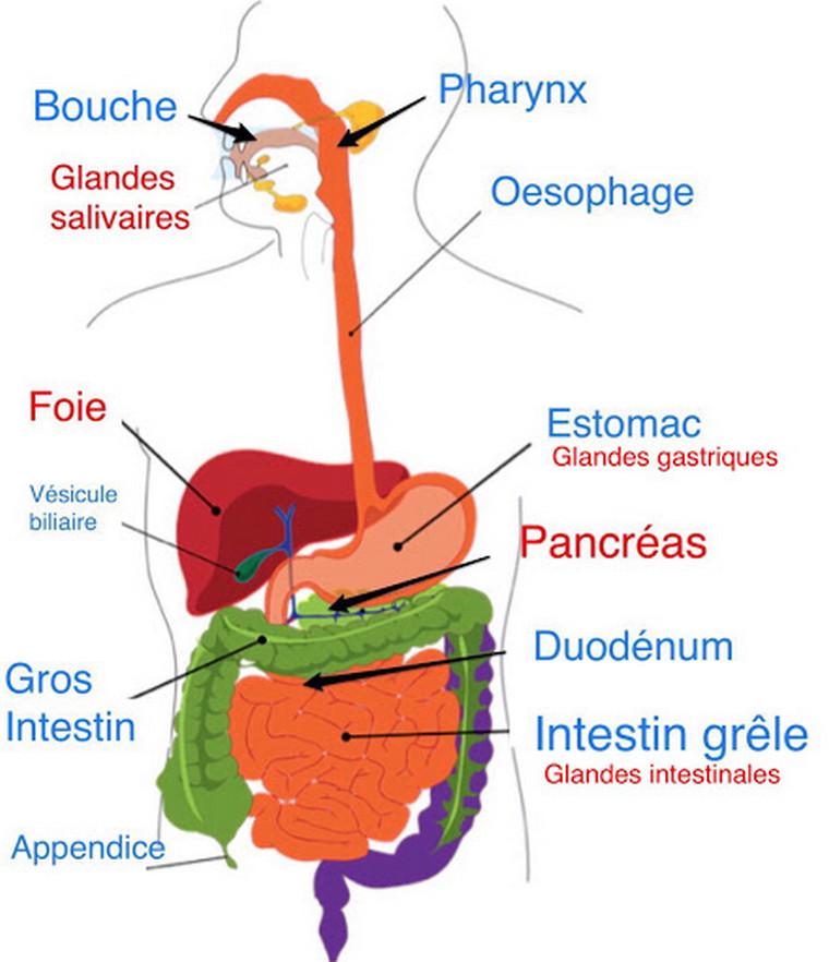 digestive system diagram image