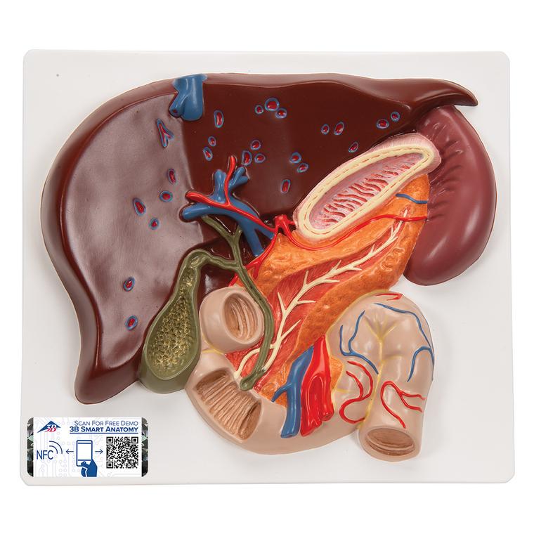 gallbladder green part under liver
